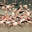 Stock Photo: Running Crowd of Flamingo