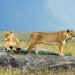 Lions on a Stone — Stock Photo #11133445