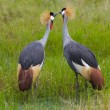 Kissing Crowned Cranes - Stock Photo