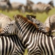 Stock Photo: Embraced Zebras