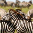 Embraced Zebras - Stock Photo