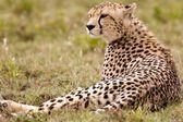 Resting Alone Cheetah — Стоковое фото