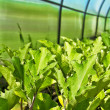 Stock Photo: Crops in greenhouse