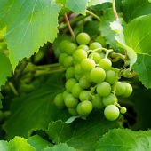 Green grapes on a branch — Stock Photo