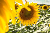 Sunflower close-up against field — Stok fotoğraf