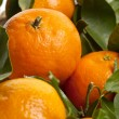New harvest oranges — Stock Photo