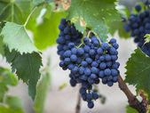 Red grapes in tuscan vineyard — Stock Photo