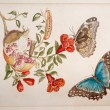 Engraving Merian Metamorphoses — Stock Photo