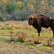 Romanian Buffalo - Photo