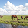 Horses grazing in the countryside from the Netherlands — Stock Photo