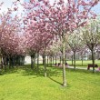 Japanese cherry trees blossoming in spring - Stock Photo