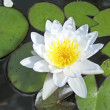 White lotus flower floating in water — Stock Photo