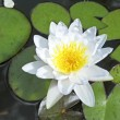 Stock Photo: White lotus flower floating in water
