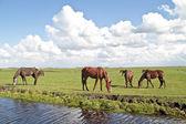 Konie wypas na wsi z Holandii — Zdjęcie stockowe