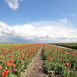 Typical dutch landscape in springtime — Stock Photo