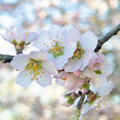 Blossoming almond flowers in springtime — Stock Photo