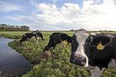 オランダからフィールドでの牛 — ストック写真