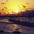 Hundreds of seagulls at the north sea coast in the netherlands at sunset — Stock Photo