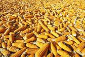 玉米为生产做好准备 — 图库照片