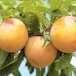 Plums at the tree ready to eat - Stock Photo