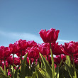 Red tulips in the countryside from Holland — Stock Photo