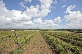 Grapevines in the fields of Portugal — Stock Photo