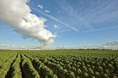 Brussels sprouts in the fields in the countryside in the Netherlands — Foto Stock