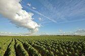 Couves de bruxelas em campos na zona rural nos países baixos — Foto Stock