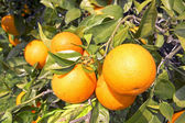 Oranges on a orange tree in springtime — Foto de Stock