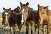 Koně v polích v portugalsku — Stock fotografie