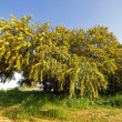 Blossoming mimosa tree — Stock Photo