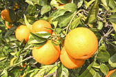 Oranges on a orange tree in springtime — Stock Photo