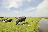 Cows in the countryside from the Netherlands — Stock Photo