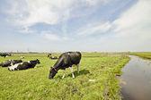 Krowy na wsi z holandii — Zdjęcie stockowe