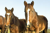 Horses in the fields — Stock Photo