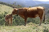 Mothercow and calf in nature in portugal — Stock Photo