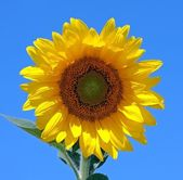 Sunflower and a blue sky — Stock Photo