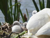 Swan and Cygnets — Stock Photo