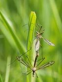 Craneflys — Foto Stock