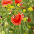 Poppy & Bee — Stock Photo