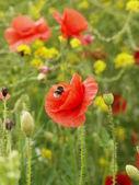 Poppy & Bee — Stock Photo