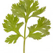 Parsley — Stock Photo #11178176