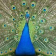 Male peacock with tail feathers spread — Stock Photo