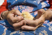 Close up og hands holding chicken — Stock Photo