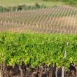 Vineyard in croatia — Stock Photo #11276793