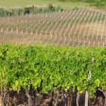 Vineyard in croatia — Stock Photo
