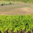 Vineyard in croatia — Stock Photo
