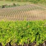 Vineyard in croatia — Stock Photo #11276799