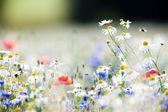 Wild flowers — Stock Photo