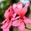 Rose geranium - Stock Photo